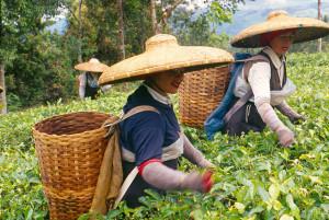 Récolte de thé à Bogor, Indonésie